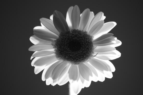 B+W flower